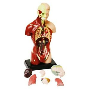 27 cm Human Anatomy Model – 8 Pieces