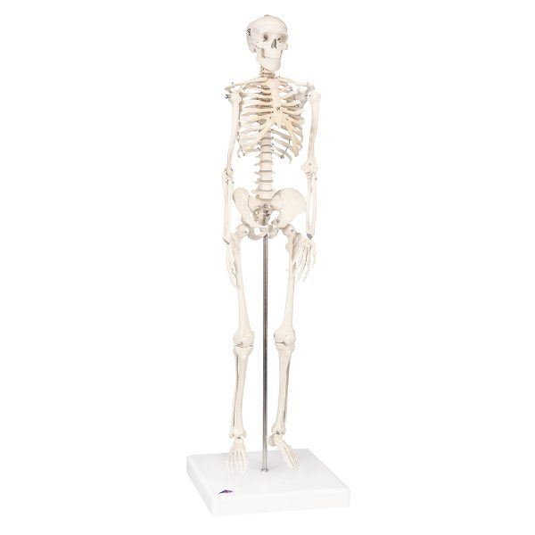 A18_01_1200_1200_Mini-Skeleton-Shorty-mounted-on-a-base