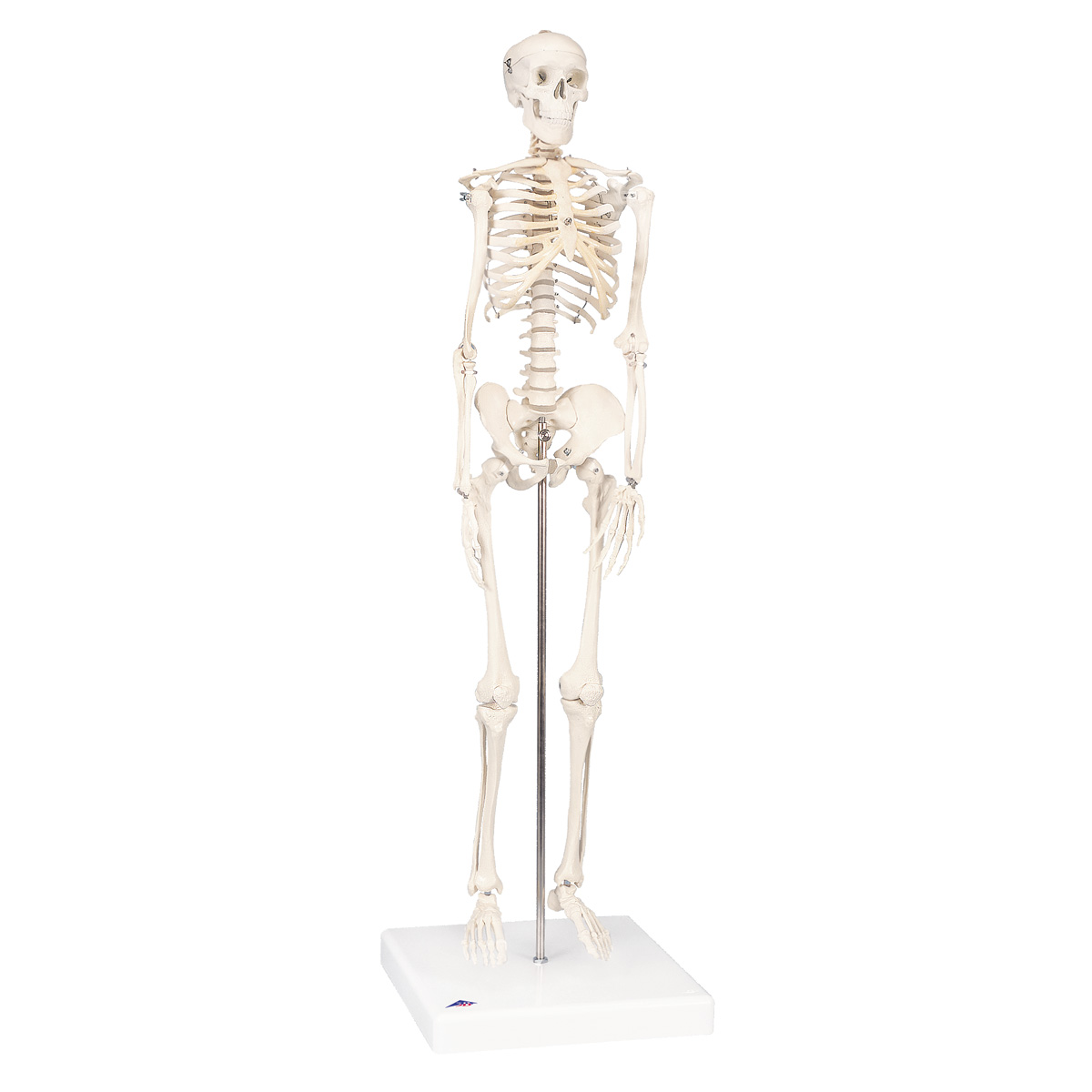 Mini human skeleton