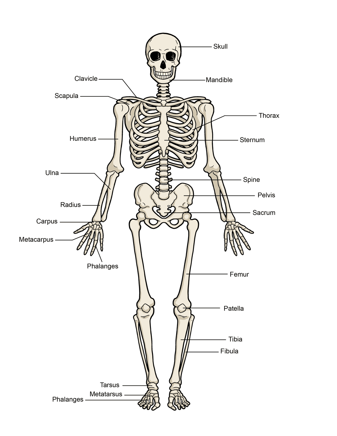 human-skeleton-diagram
