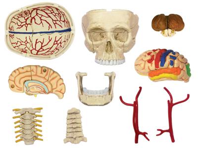 Cranial Nerve Skull