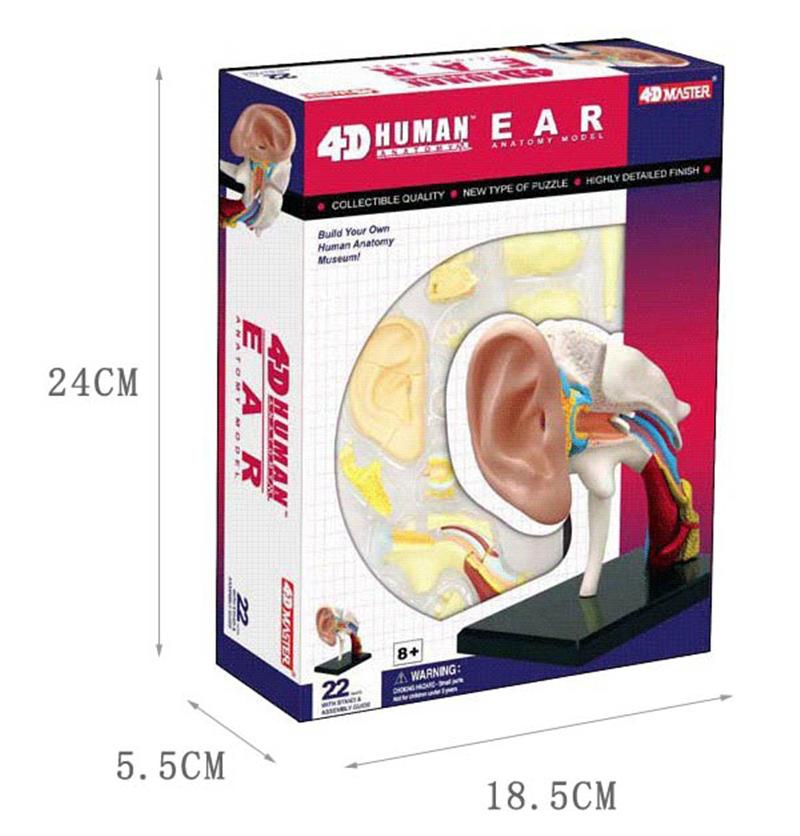 Ear Anatomy model