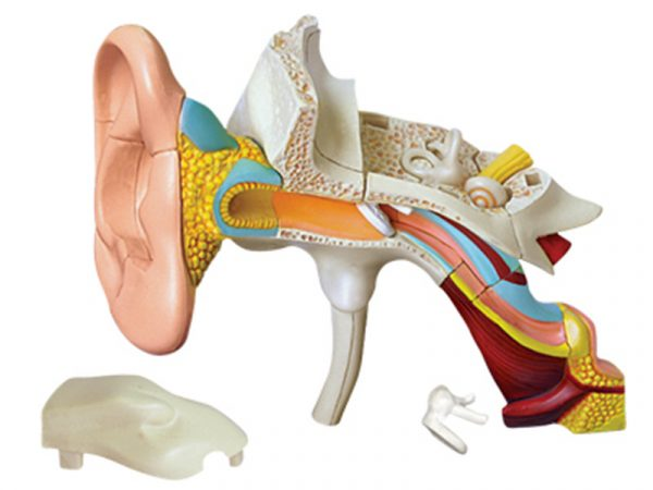 Ear Anatomy model