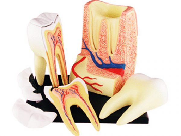 Triple root Molar Model