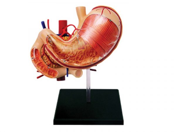 Stomach Anatomy Model