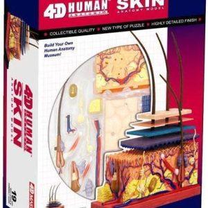 Skin Section Anatomy Model