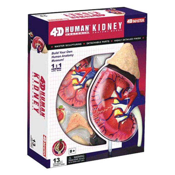 Kidney Anatomy Model