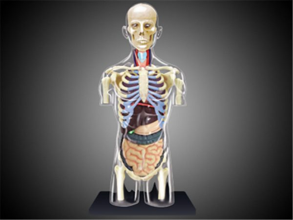 8″ Transparent Torso Anatomy Model