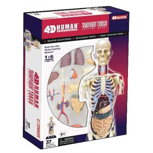 "8"" Transparent Torso Anatomy Model"