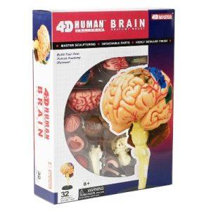 4D Fame Master Human Brain